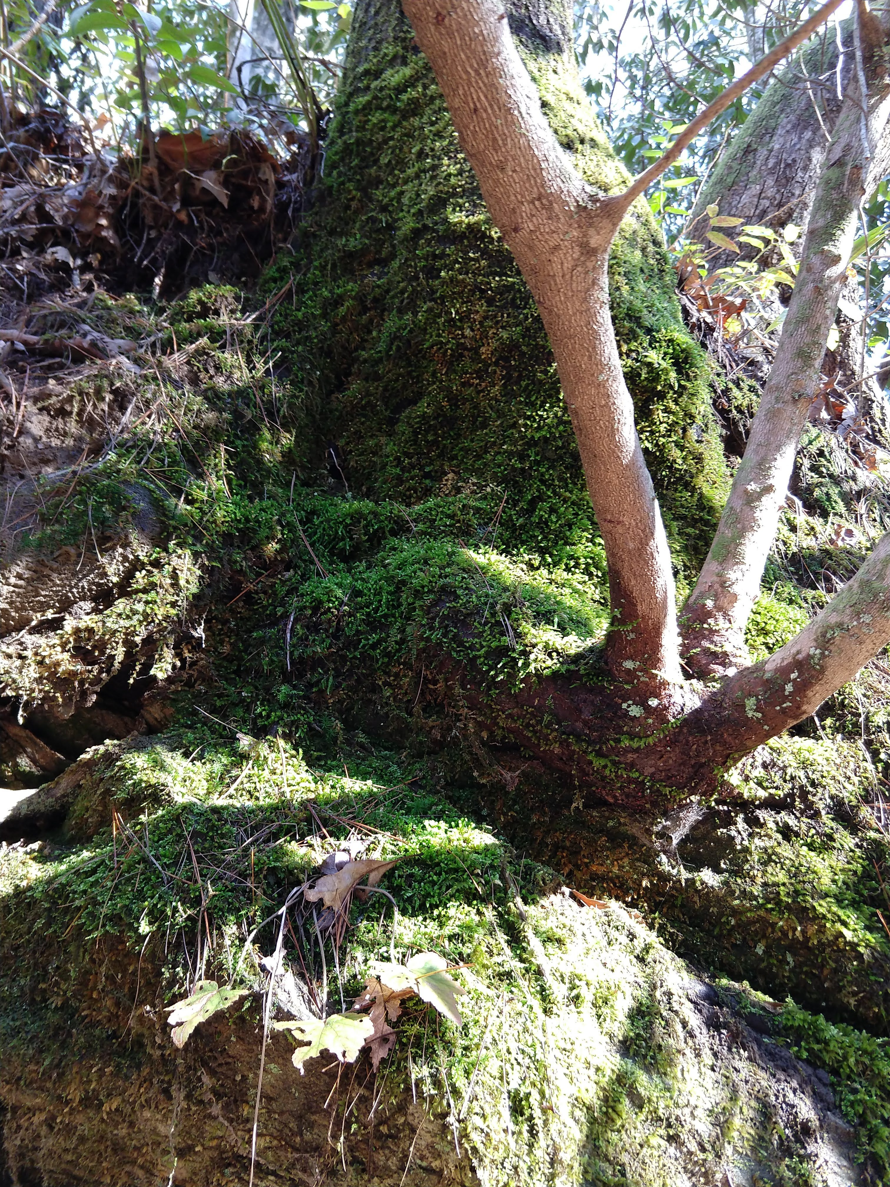 Photo of a mossy hillside with rhododendron trunks rising out of the moss