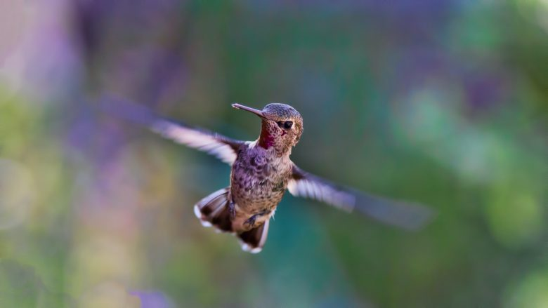 hummingbird in flight, facing the camera, its head cocked slightly, its wings a blur