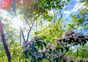 Photo of sun shining through trees with a mountain laurel in the foreground and blue skies in the background