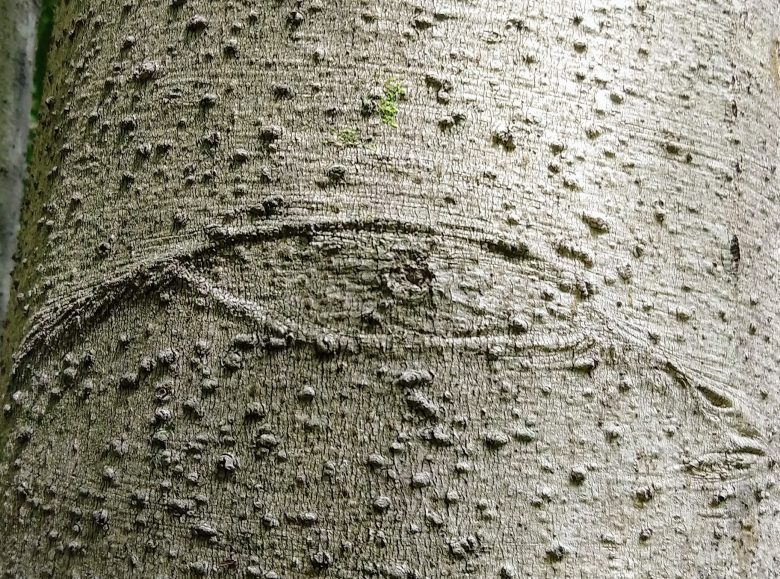 Photo of the bark of a beech tree with the image of an eye visible in the bark
