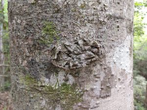 Close-up photo of beech bark